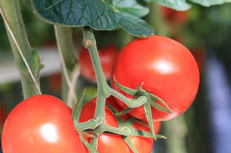 Bio-Tomaten an der Pflanze